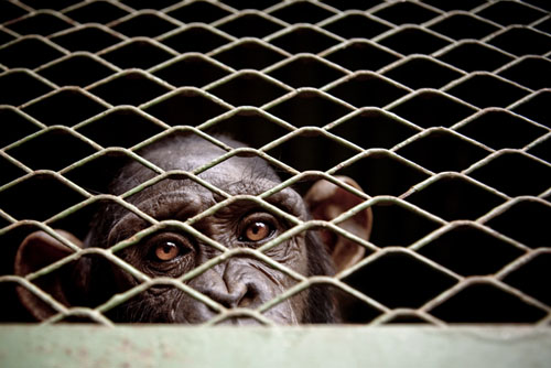 Chimpanze © Gwenn Dubourthoumieu