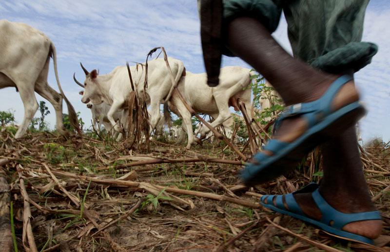 Un berger avec son troupeau de bœuf a Mbour, Sénégal le 22 Octobre 2010 © Thierry Gouegnon