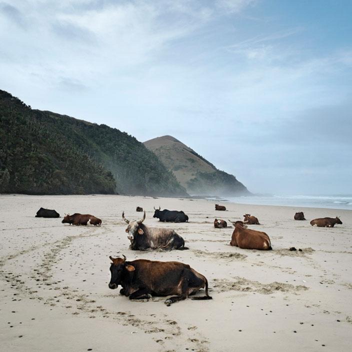 Xhosa cattle on the shore. Mgazi, Eastern Cape, 19 May 2010 © Daniel Naudé | Coutesy Michael Stevenson Gallery