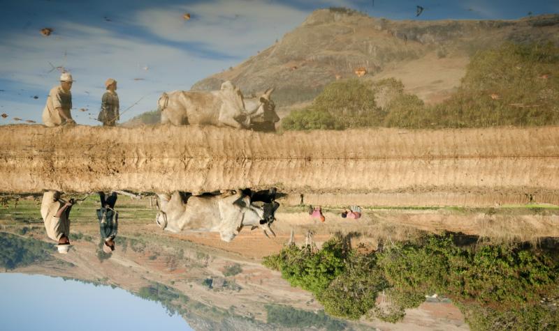 L'homme se sert de la puissance du zébu pour labourer la terre en vue de la culture du riz. Le zébu est un signe de richesse. Il intervient dans toutes les étapes de la vie d'un malgache: de la naissance au mariage, toutes les occasions sont propices pour consommer le bovin. © Rindra Ramasomanana