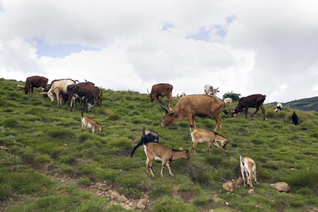 Le bétail © Anaïs López